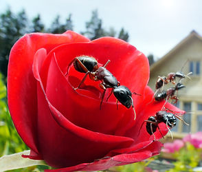 garden ants on rose and summerhouse, wid