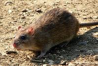 Rat picture.jpg