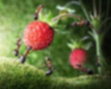 team of ants gathering wild strawberry,