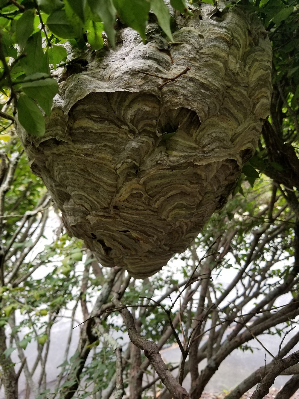We have several species of yellow jackets in New England. The Bald-faced Hornet is one of these species. The nest is that easy to recognize football shaped paper nest found hanging in bushes, trees and maybe on the side of your home or business.  At the end of the summer the nest is at its full size as the bald-faced hornet anticipates colder weather and there are less young to raise in the nest. The nest will not be used again next year, and only fertilized females will survive the winter to become queens and build a new nest next year. All the workers of the nest will die during the first hard frost of the winter.  The adult Bald-face hornet is a ferocious protector of its nest and will aggressively defend their nest area.  The stingier is smooth and rounded allowing it the ability to sting several times. By the end of the summer a colony may have hundreds of workers who are aggressively defending their nest area.  If you find a nest like this, you may need some help to remove it.  We can help you with this, just give us a call.