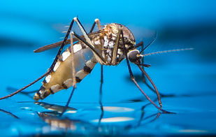 Macro of a Mosquito on water.jpg