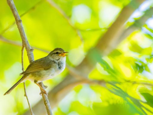 季節と暮らしを楽しむ七十二候『黄鶯睍睆 うぐいすなく』