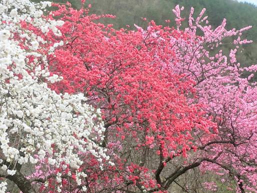 季節と暮らしを楽しむ七十二候『桃始笑 ももはじめてさく』