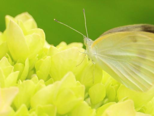 季節と暮らしを楽しむ七十二候『菜虫化蝶 なむしちょうとなる』