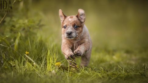 Australian cattledog