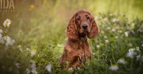 Koiravalokuvauksen suurin salaisuus: Näin opit valokuvaamaan koiria