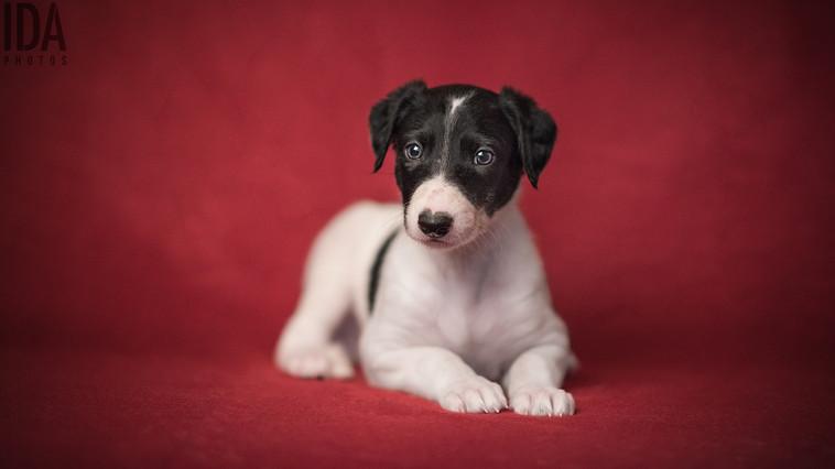 Polish Greyhound