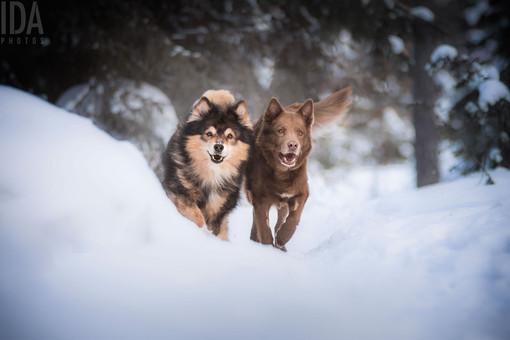 Inari & Otto - suomenlapinkoira