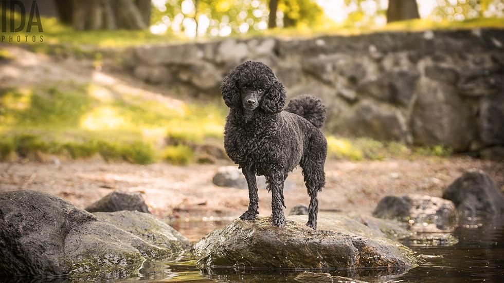 Mimi - miniature poodle