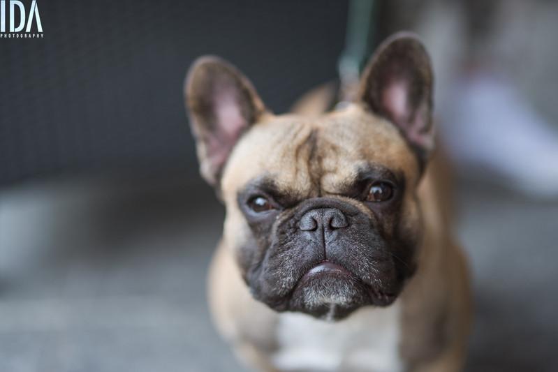 Ranskanbulldog miitti 2017