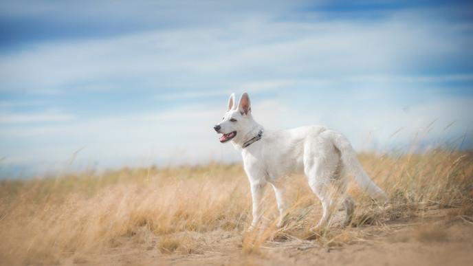 Aslak - whiteswiss shepherd