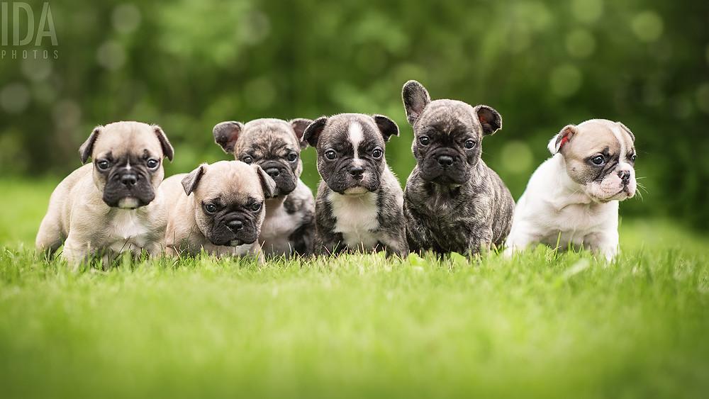 ranskanbulldog pentukuvaus