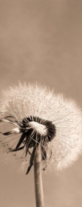 dandelion-333093_1280_edited.jpg
