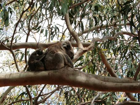 Australia: Koalas in a Crisis