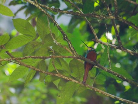 Tobago: Paradise has Hummingbirds