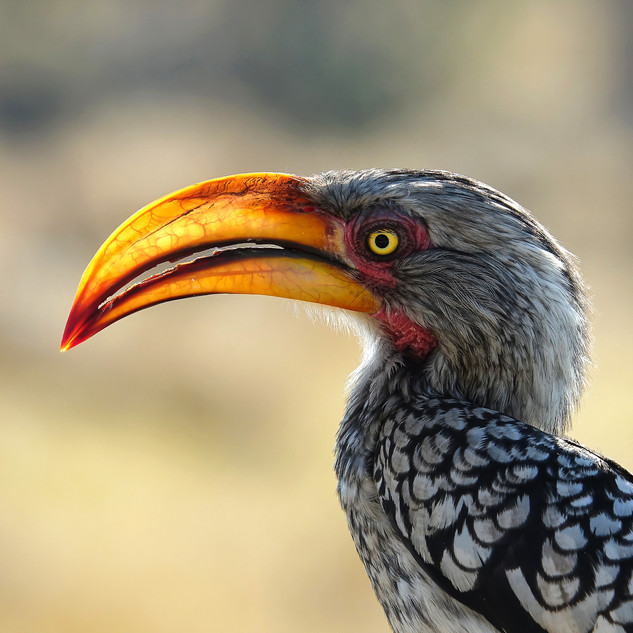 Yellow-billed Hornbill, Okavango Delta, Botswana