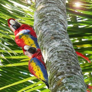 Red Macaws, Osa Peninsular, Costa Rica