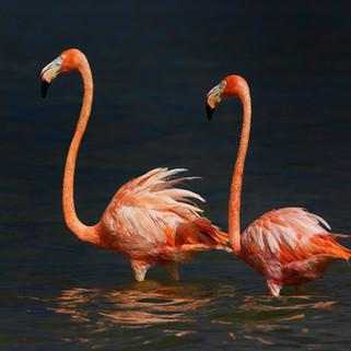 Flamingos, Celestun, Mexico