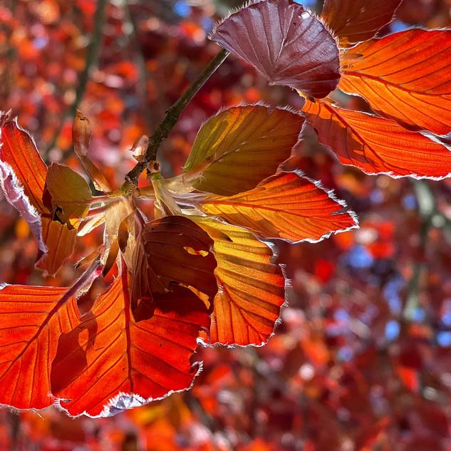Beech leaves, Oxfordshire, UK