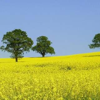 Rapeseed field, Oxfordshire, UK