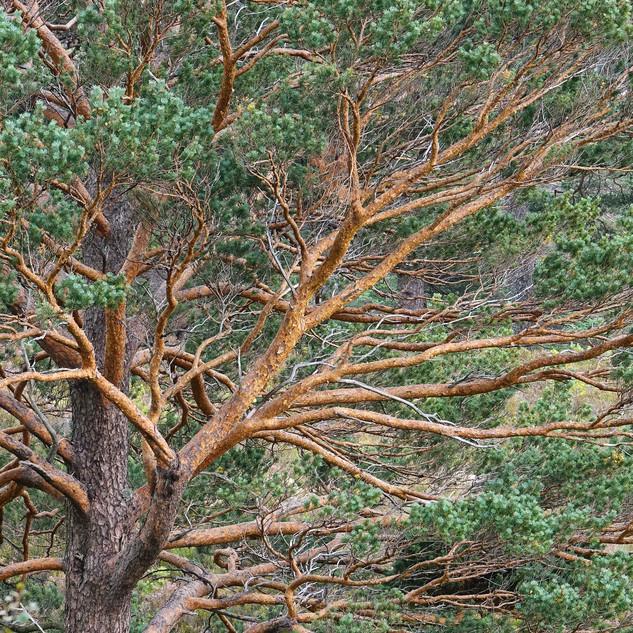 Scots Pine, Scotland