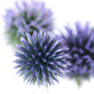 Echinop flowers