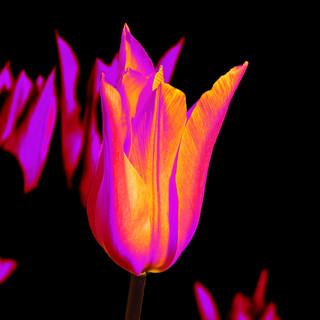 Ballarina tulip