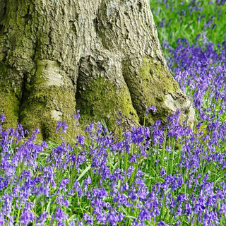 Bluebells, Tusmore Estate, Oxfordshire, UK