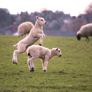 Lambs, Hethe, Oxfordshire, UK