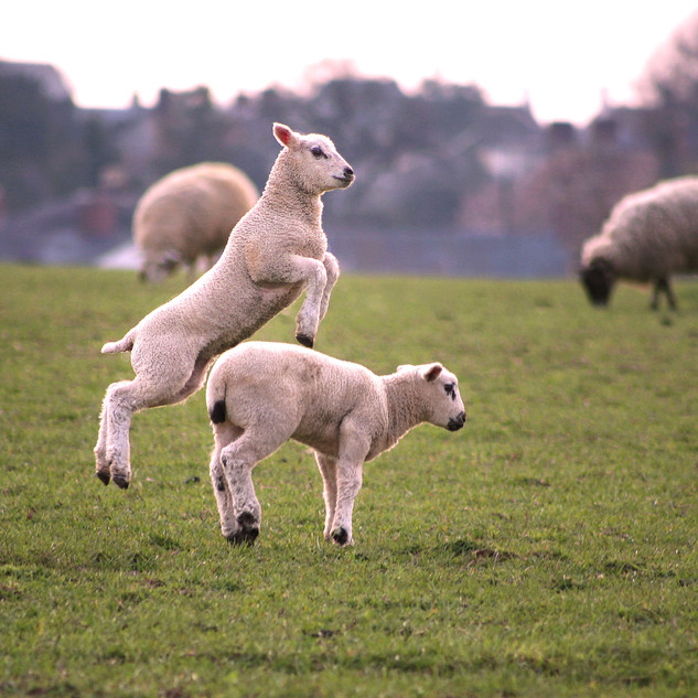 Lambs, Hethe, Oxfordshire, UK