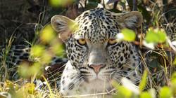 Focused leopard, Okavango Delta, Botswana