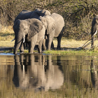 Elephants, Okavango Delta, Botswana