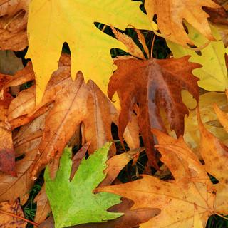 Acer leaves, Westonbirt Arboretum, Gloucestershire, UK