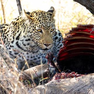 Leopard and kill, Okavango Delta, Botswana