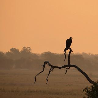 Eagle, Okavango Delta, Botswana