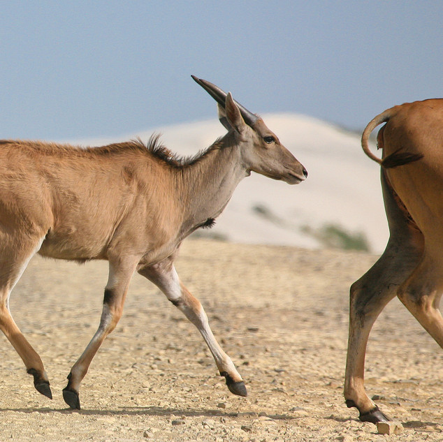 Elands, De Hoop National Park, South Africa
