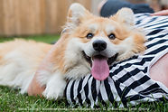 Marcel, a fluffy Pembroke Welsh Corgi dog living in London UK and travelling the world, is smiling in the arms of his French human
