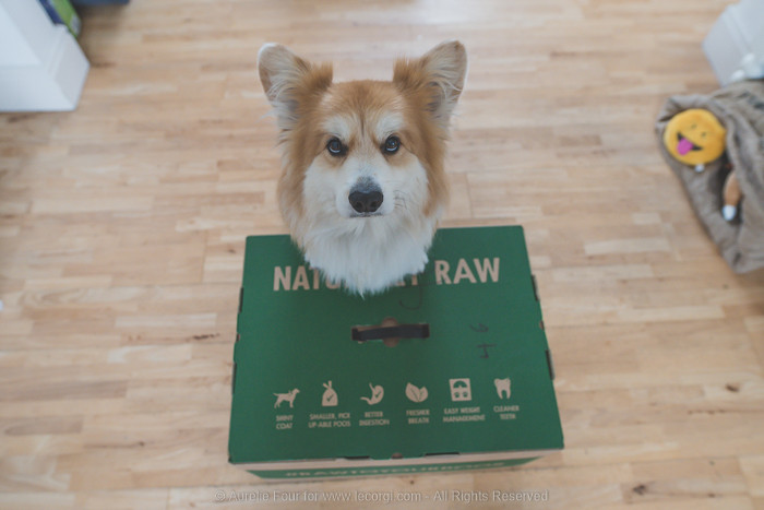 Marcel the London fluffy corgi is standing on his box of raw food by Natures Menu online, which contains his order for a month. On the box, the benefits of raw feeding are listed.