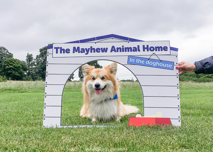 Marcel Le Corgi x The Mayhew
