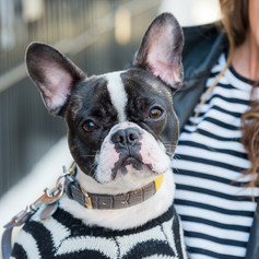 """Gorgeous Frenchie bulldog Chloe poses with her human during a photoshoot at London Fashion Week captured by Aurélie """"Photobya4"""" Four"""