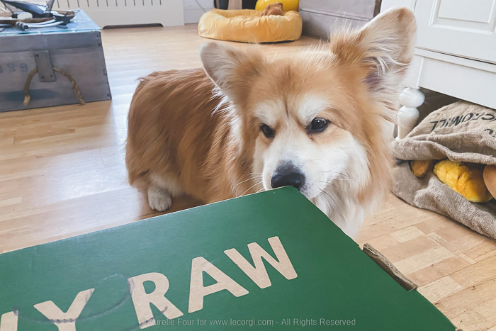 Marcel Le Corgi is very curiously checking on the box that was just delivered and contains his raw dog food.