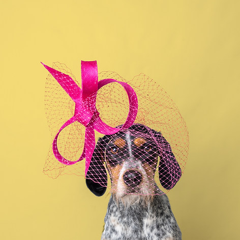 """Panda the rescue dog from Wild at Heart Foundation poses wearing a hot pink Philip Tracey Fascinator Hat for the 2021 Haute Dogs Charity Calendar captured by Aurélie """"Photobya4"""" Four"""