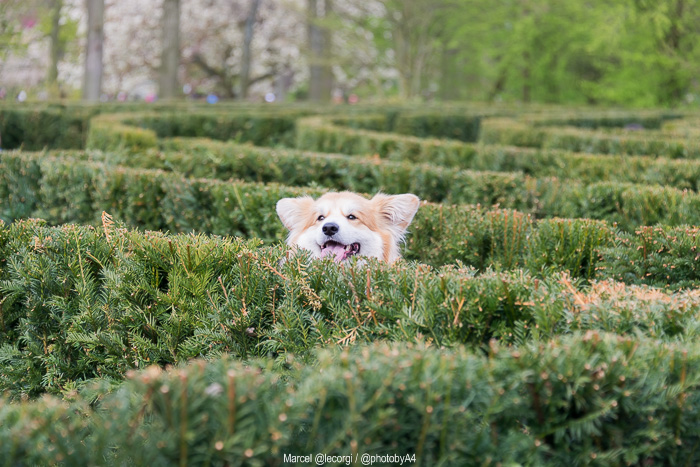 Marcel @lecorgi lost in the maze