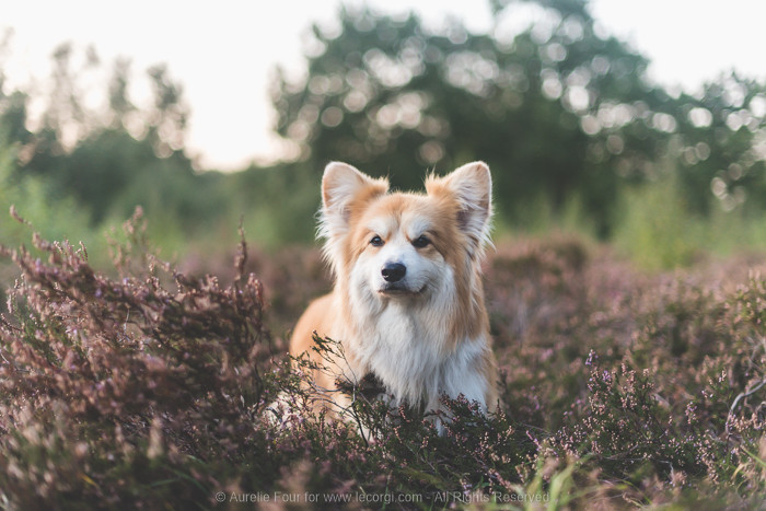 Marcel Le Corgi the fluffy Pembroke Welsh corgi is looking majestic in a London park, surrounded by heather bushes. His red and white coat is shiny thanks to the raw dog food he eats.