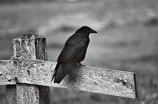Crow, Corvid, Fence, Raven