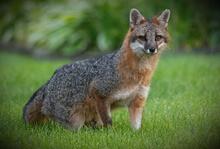 Gray Fox (Stock Photo)