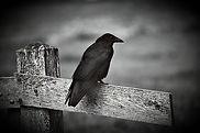 Black-Crow-Plumage-Animal-Corvid-Bird-Fe