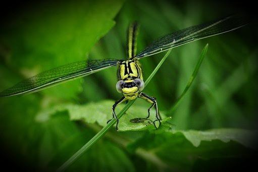 Dragonfly: Common Sanddragon   (Public Domain)
