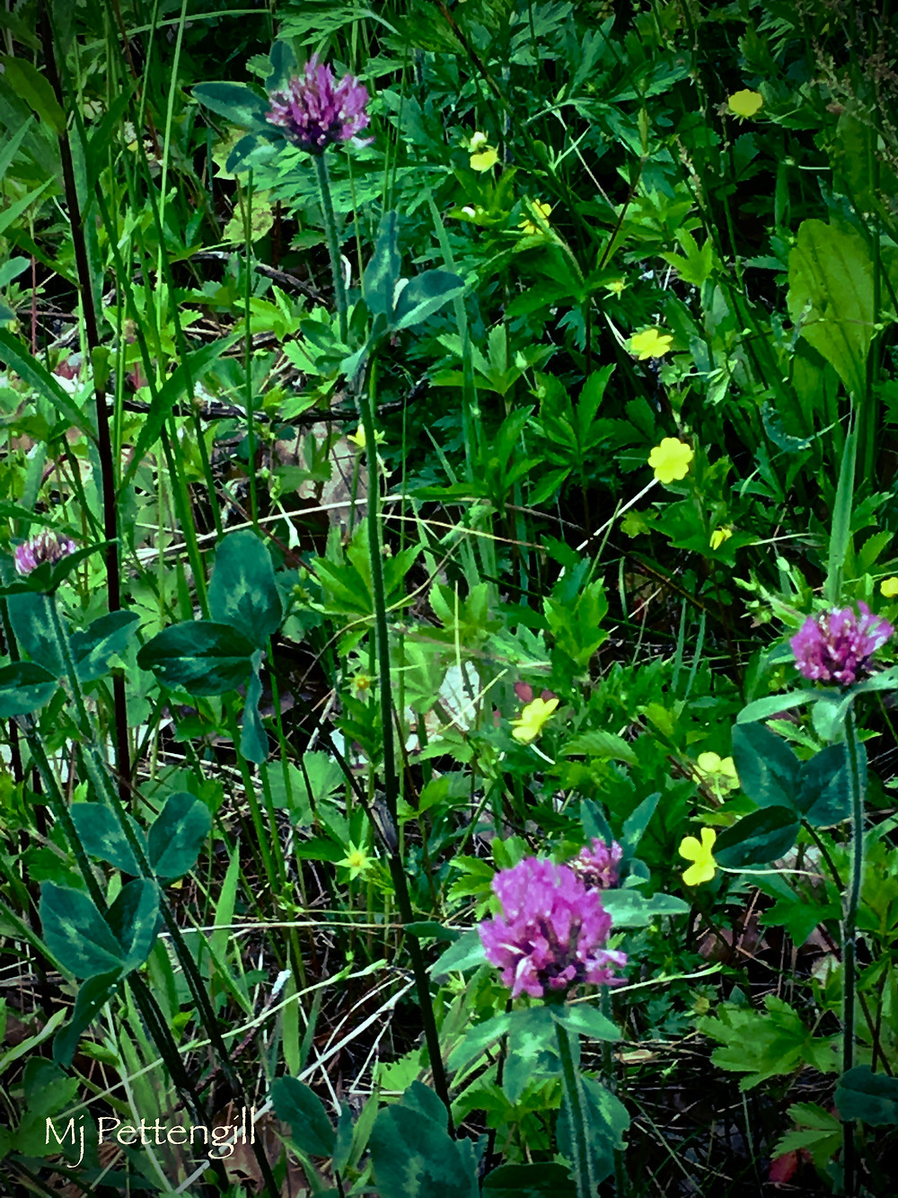 Clover, Weeds, Wildflowers