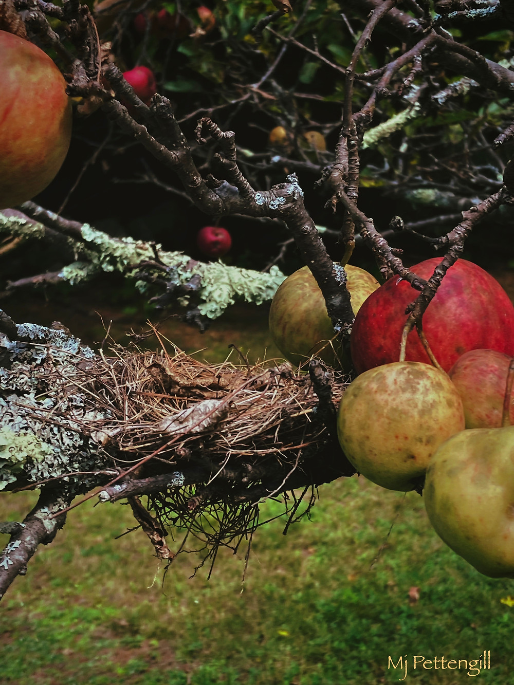 Wildly Imperfect Apples, Mj Pettengill